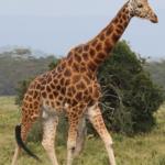 rothchild-giraffe