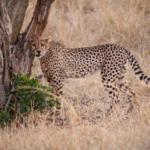 ...cheetah in the Masai Mara.
