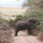 elephant-road-block