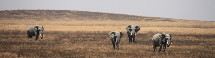 elephants-on-the-plains-on-the-serengeti