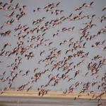 ...flamingo flying.