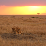 ...lions at sunset.