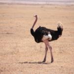 ostrich-in-pink