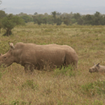 ...very young white rhino with mom.