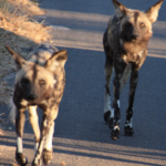 ...Wild Dogs on the move.